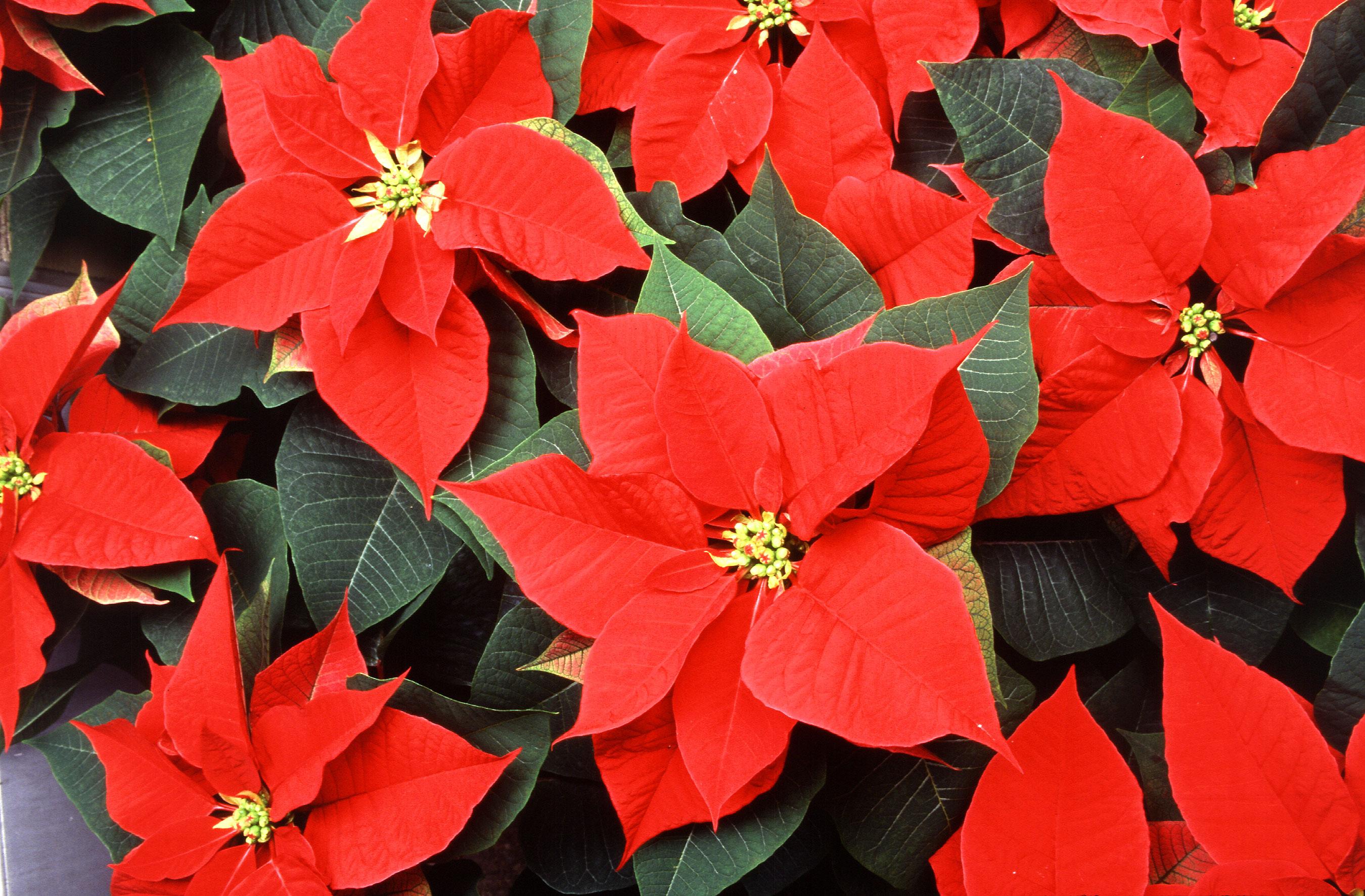 Фото цветка рождественская звезда