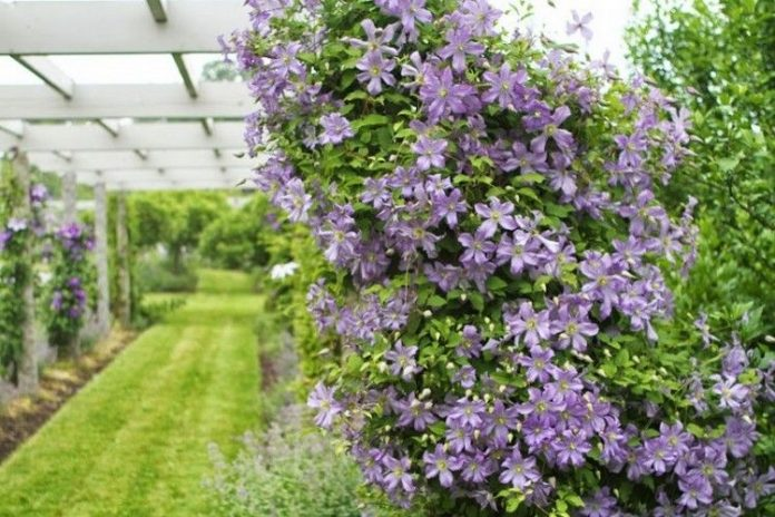 clematis-sort-Arabella