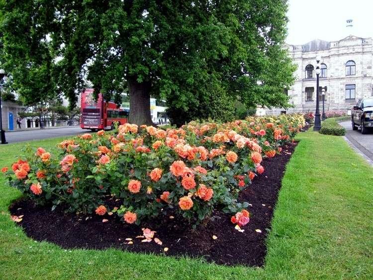 розы фото
