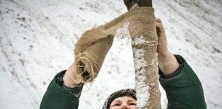 Как укрыть деревья на зиму