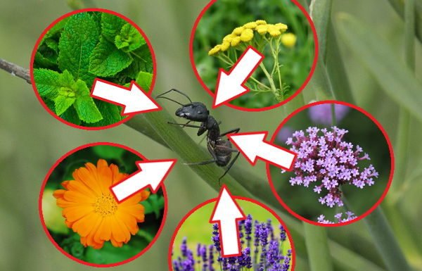 растения от муравьев